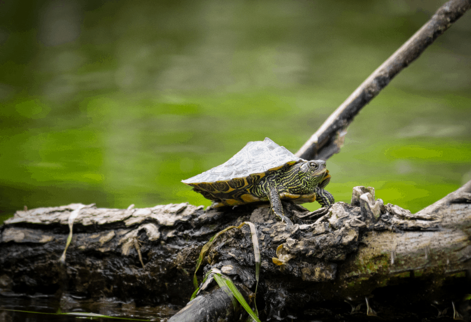 mississippi map turtle archive