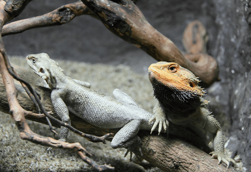 should you get a male or female bearded dragon 1