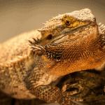 what watt heat bulb for bearded dragon in 40 gal tank 1