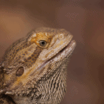 why does my bearded dragon stare at me 1
