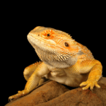 gut loading crickets for bearded dragons