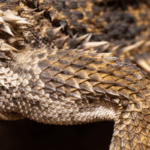 bearded dragon clogged femoral pores