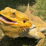bearded dragon eat cilantro