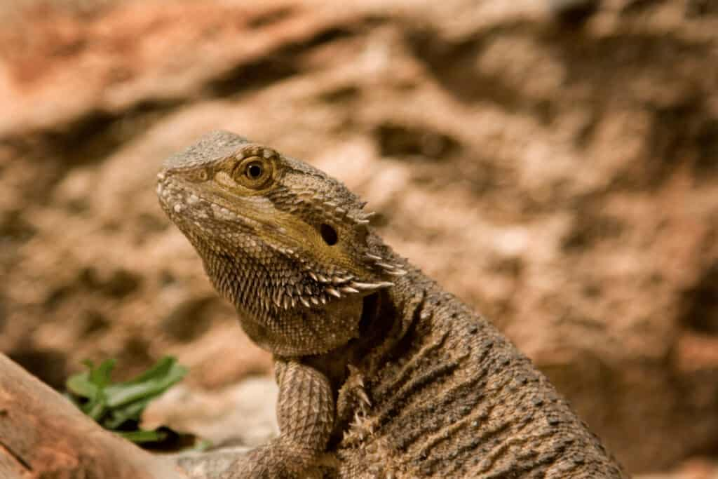 bearded dragon eating anole