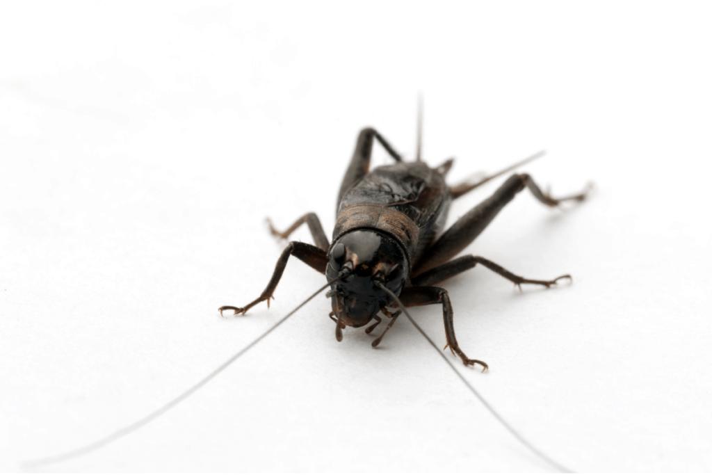 bearded dragon food list cricket