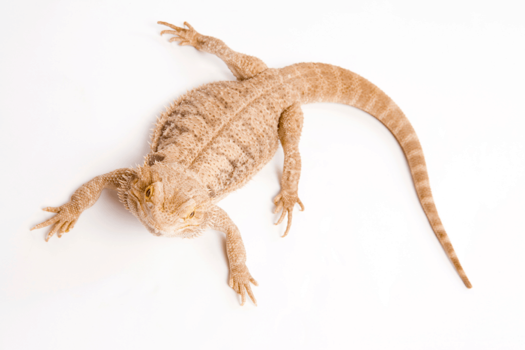 bearded dragon not eating crickets