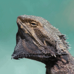 bearded dragon olive oil