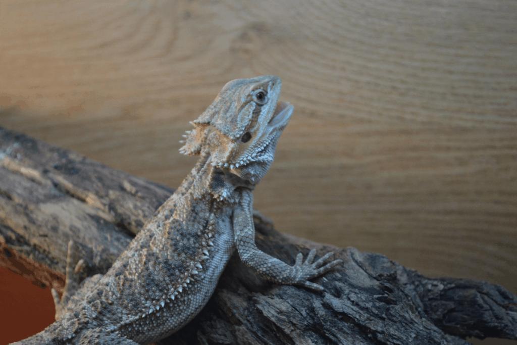 bearded dragon poop 1