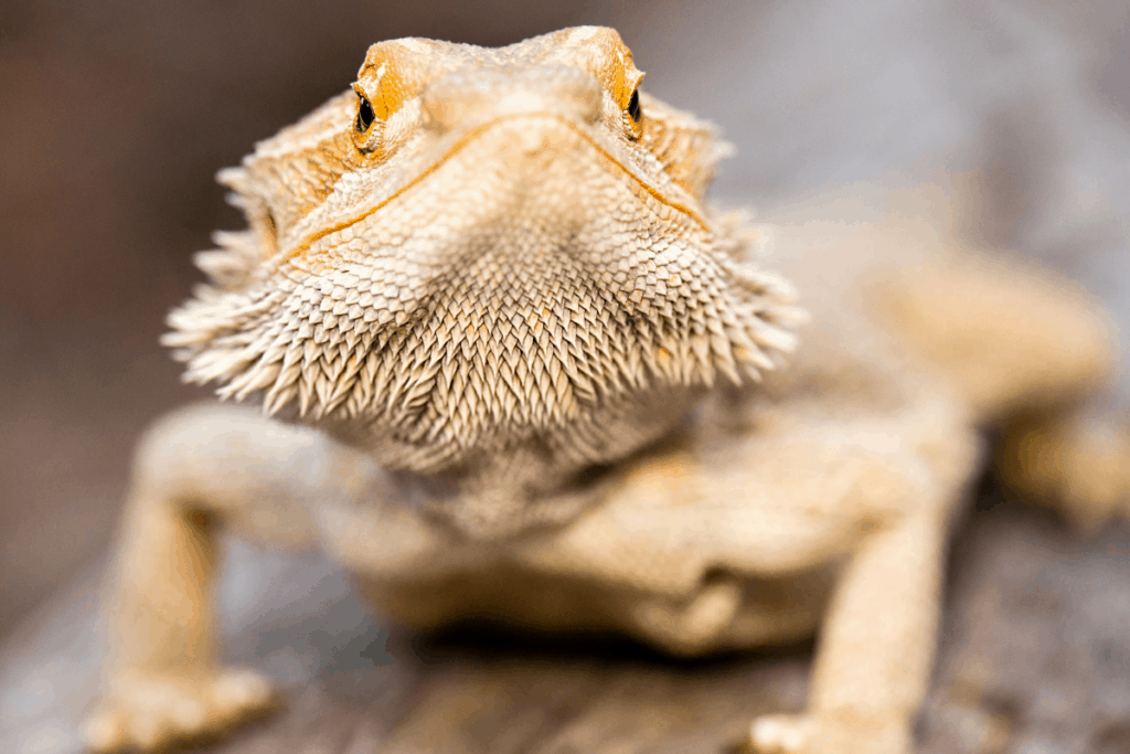 bearded dragon poop how to