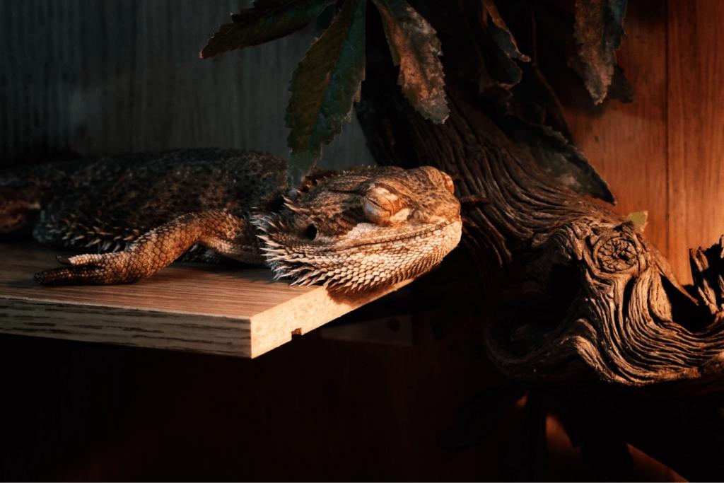 bearded dragon sleeping upright