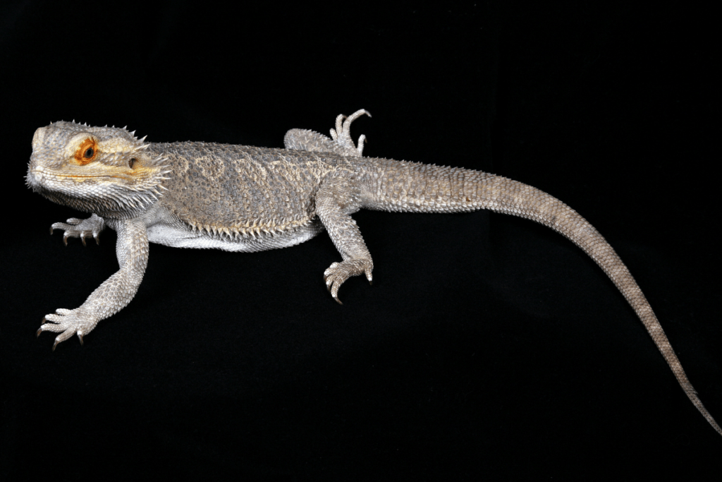 bearded dragon tail twitching
