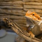 bearded dragon turning white