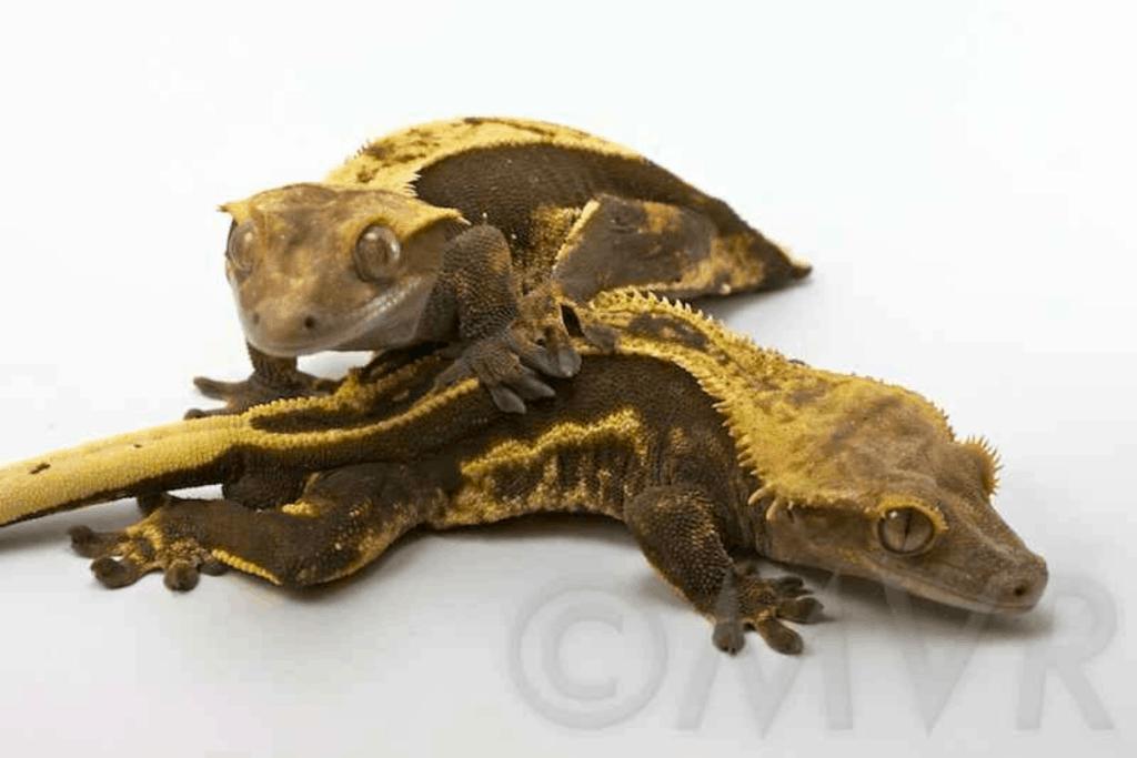 blonde crested gecko morph list