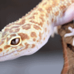 can a leopard gecko live in a 10 gallon tank