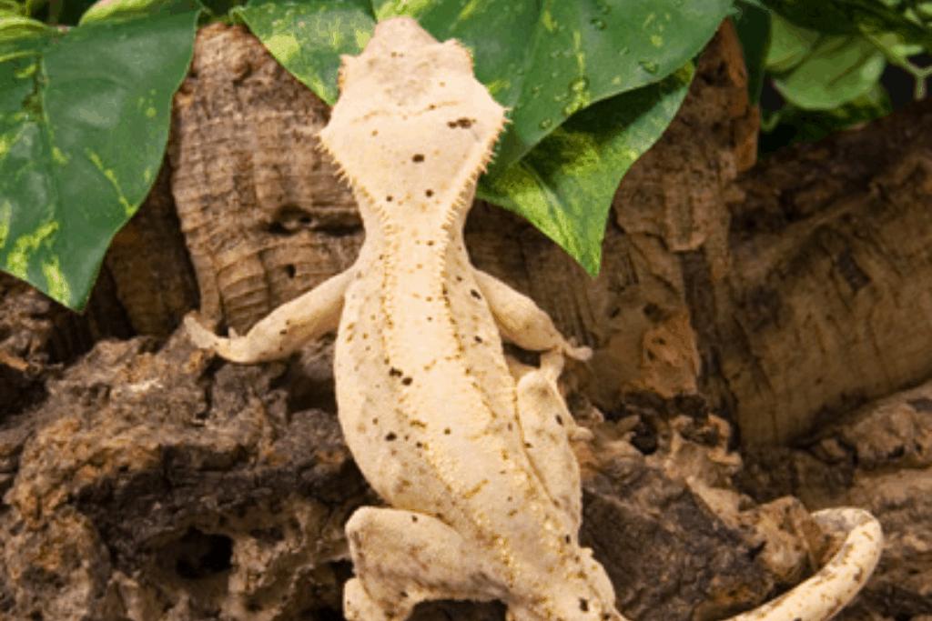 cream on cream crested gecko morph list