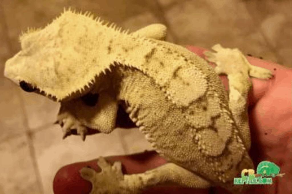 creamsicle crested gecko morph list