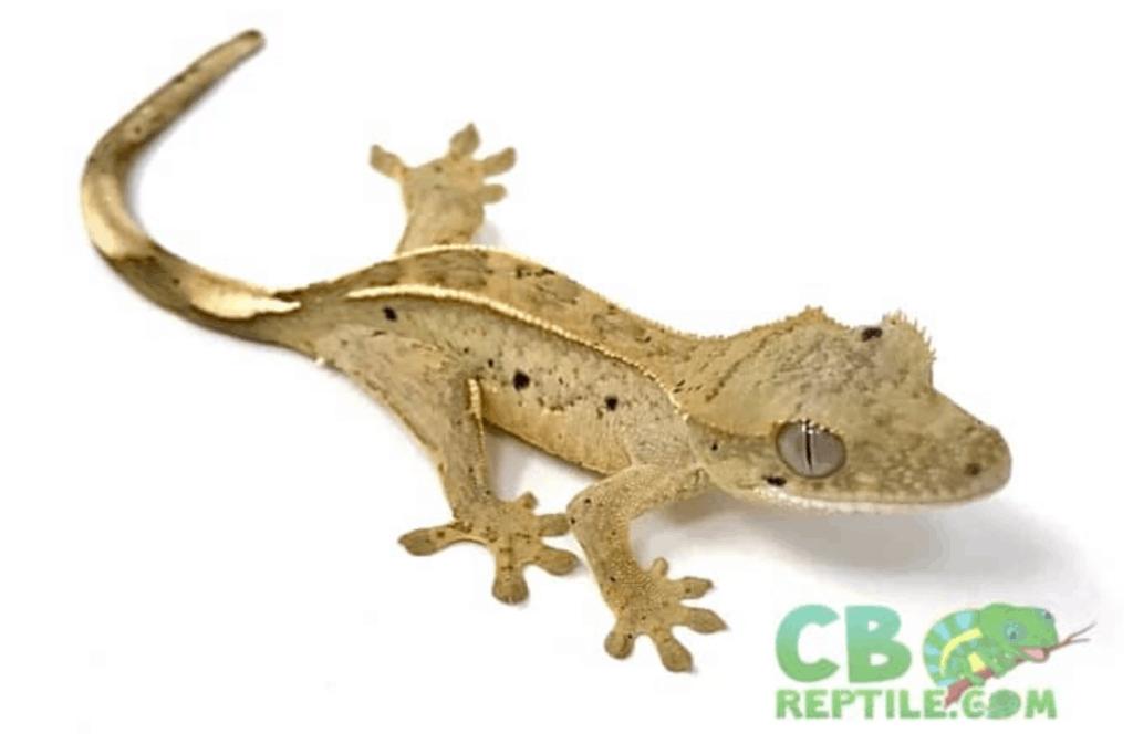dalmation crested gecko morph list (2)