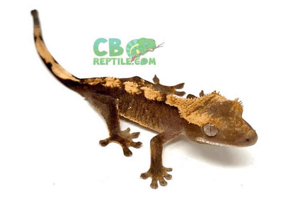 flame crested gecko morph list