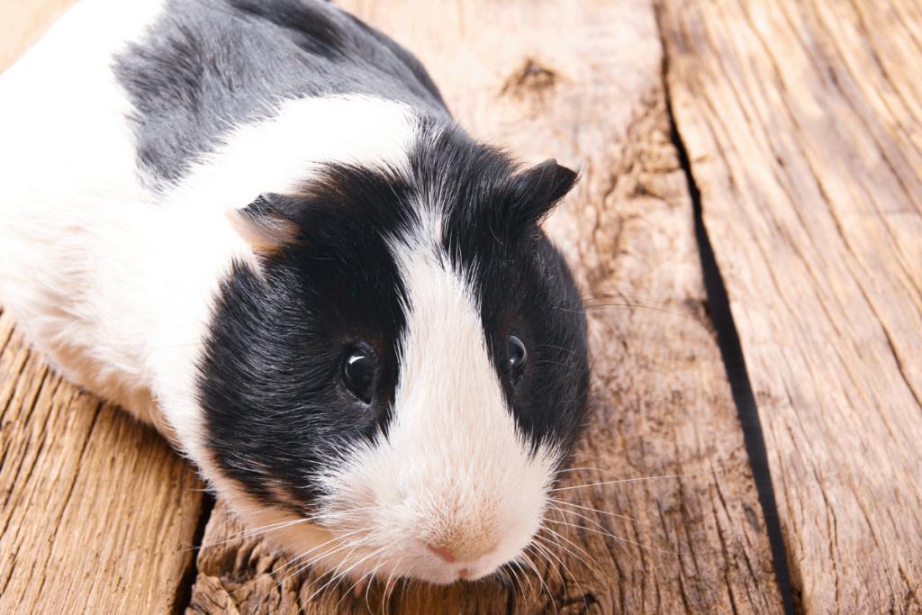 guinea pig running around cage