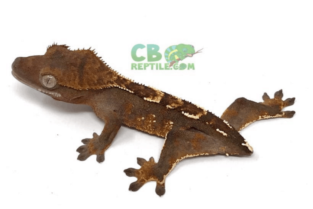 halloween crested gecko morph list