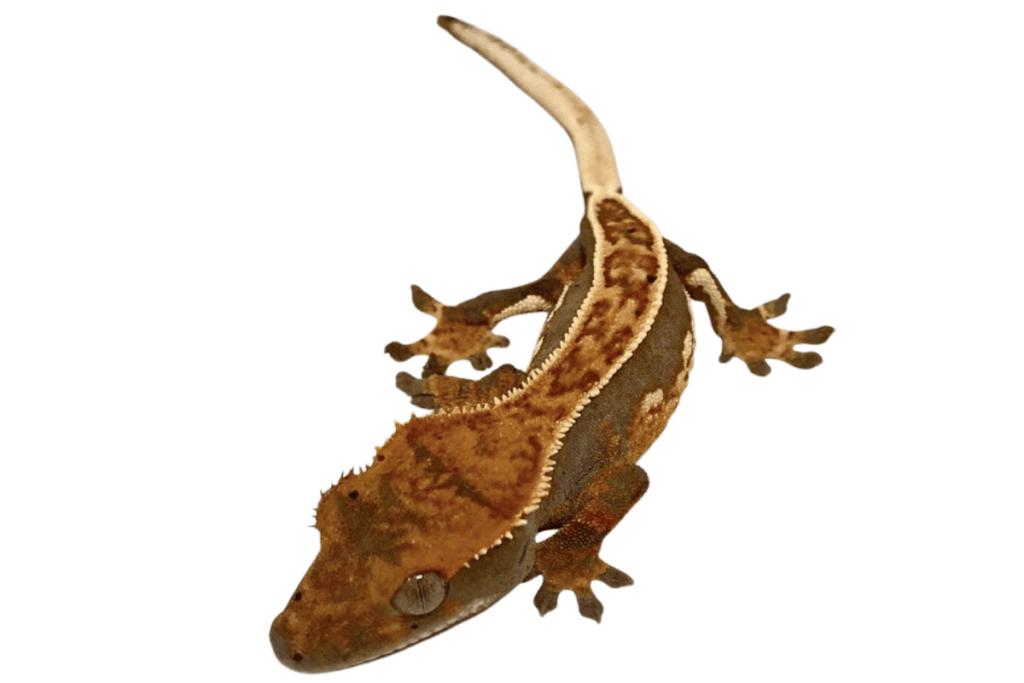 harlequin pinstripe crested gecko morph list