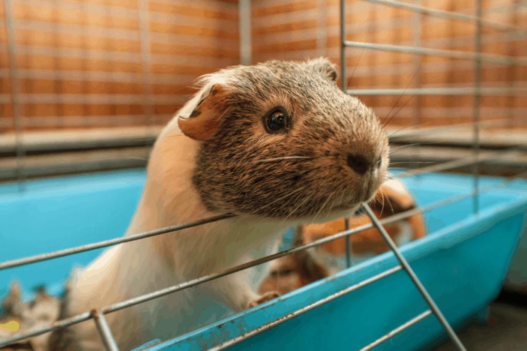 how big should a guinea pig cage be