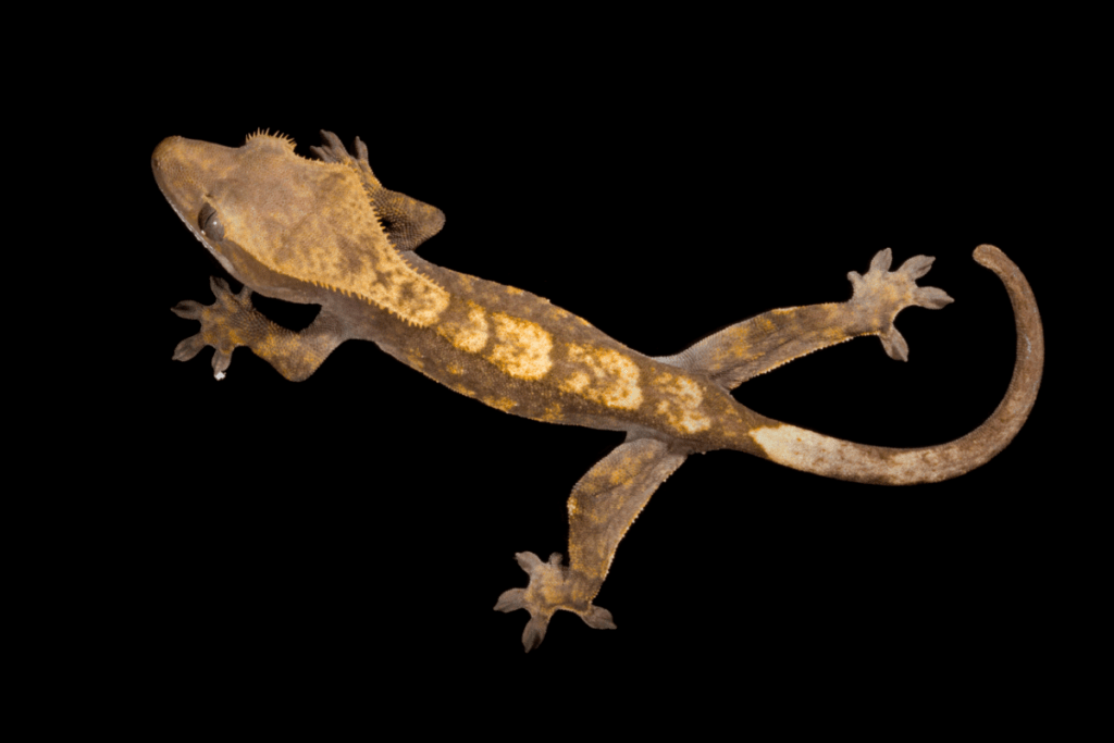 how often to feed crested gecko