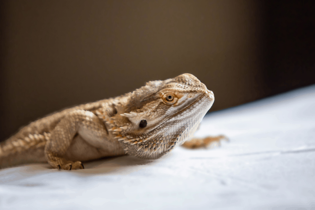 is a bearded dragon right for you