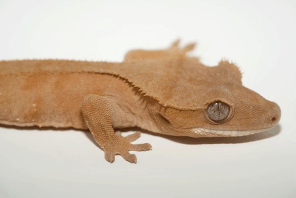 patternless crested gecko morph list
