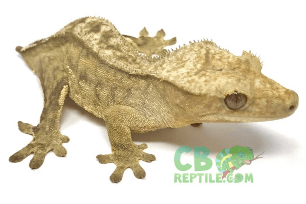 phantom pinstripe crested gecko morph list