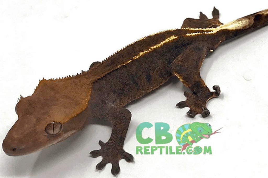 pinstripe crested gecko morph list