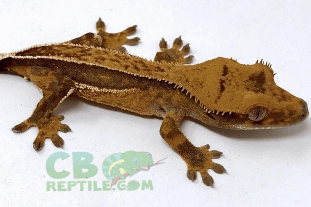 quadstripe crested gecko morph list