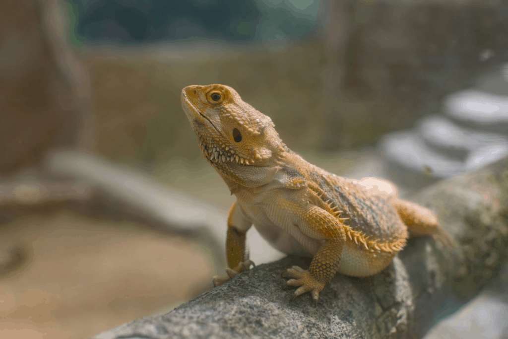 under tank heater for bearded dragon