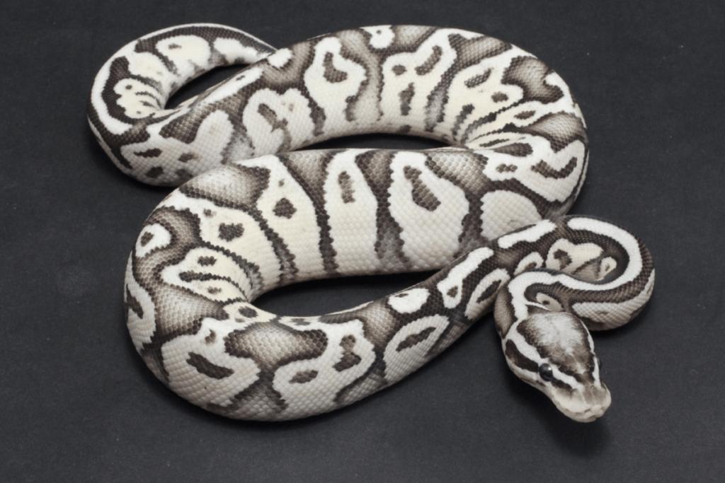 ball python morphs axanthic