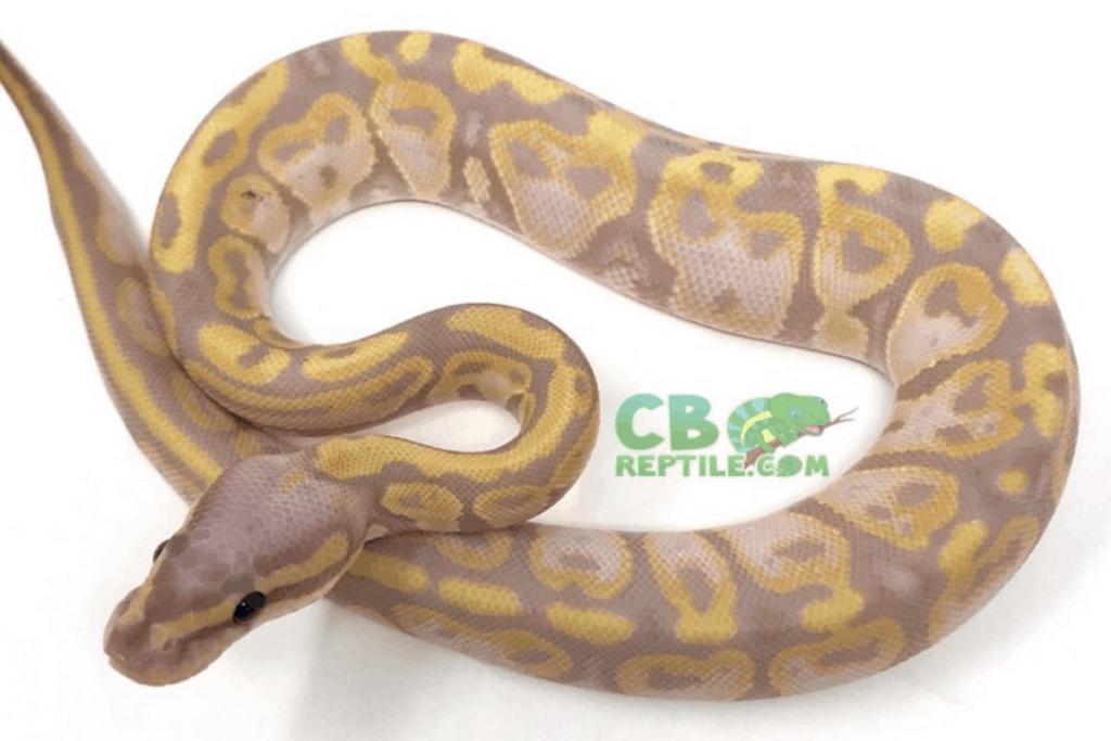 ball python morphs banana