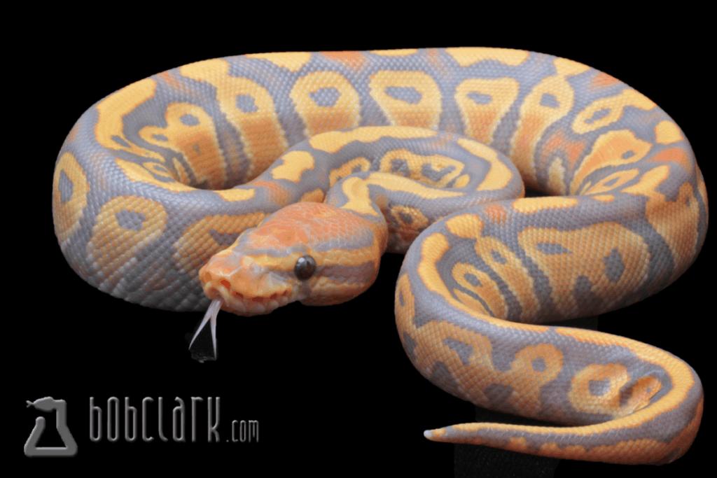 ball python morphs caramel glow