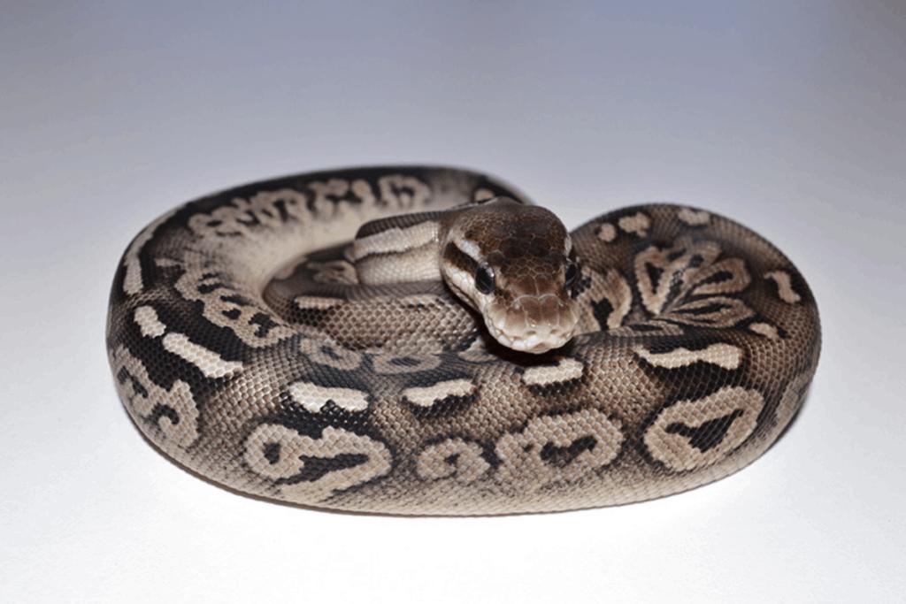 ball python morphs casper