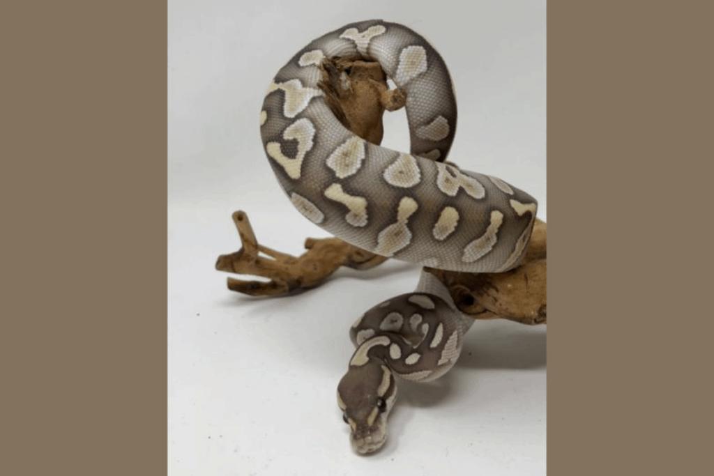 ball python morphs chocolate