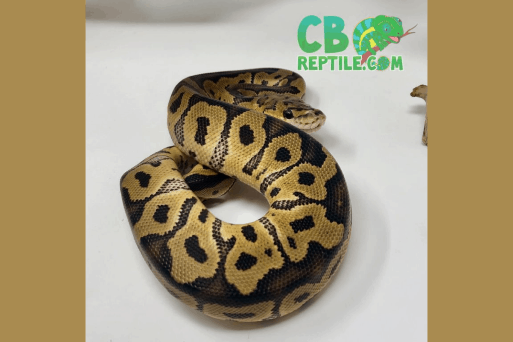 ball python morphs clown