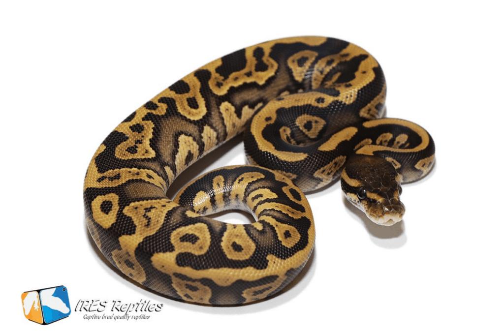 ball python morphs confusion