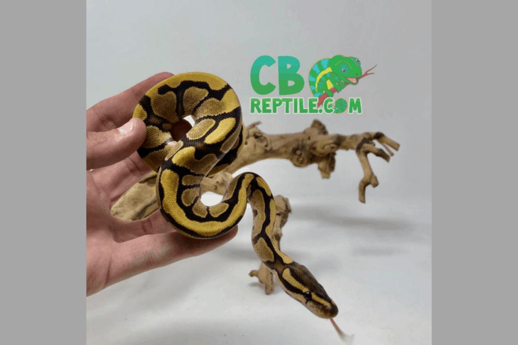 ball python morphs enchi