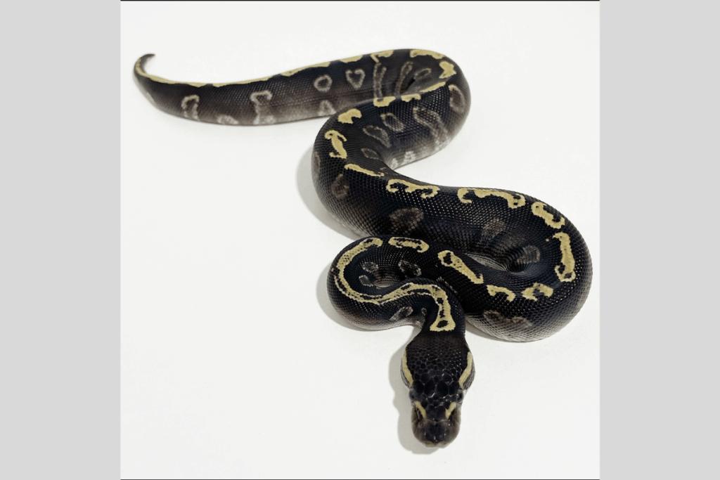 ball python morphs eruptor