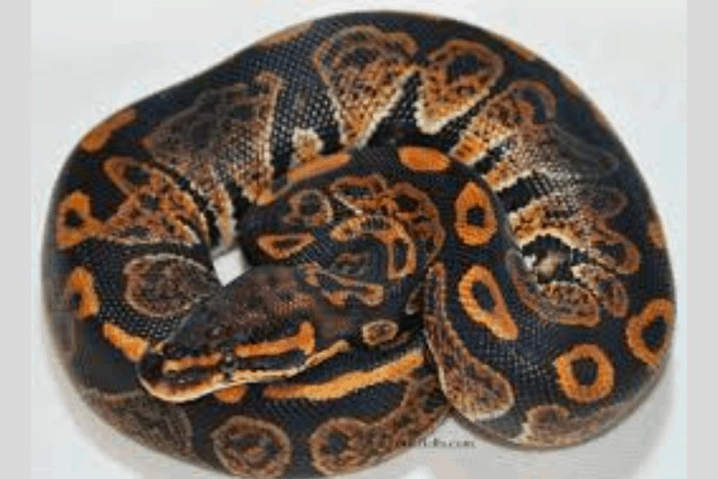 ball python morphs galaxy