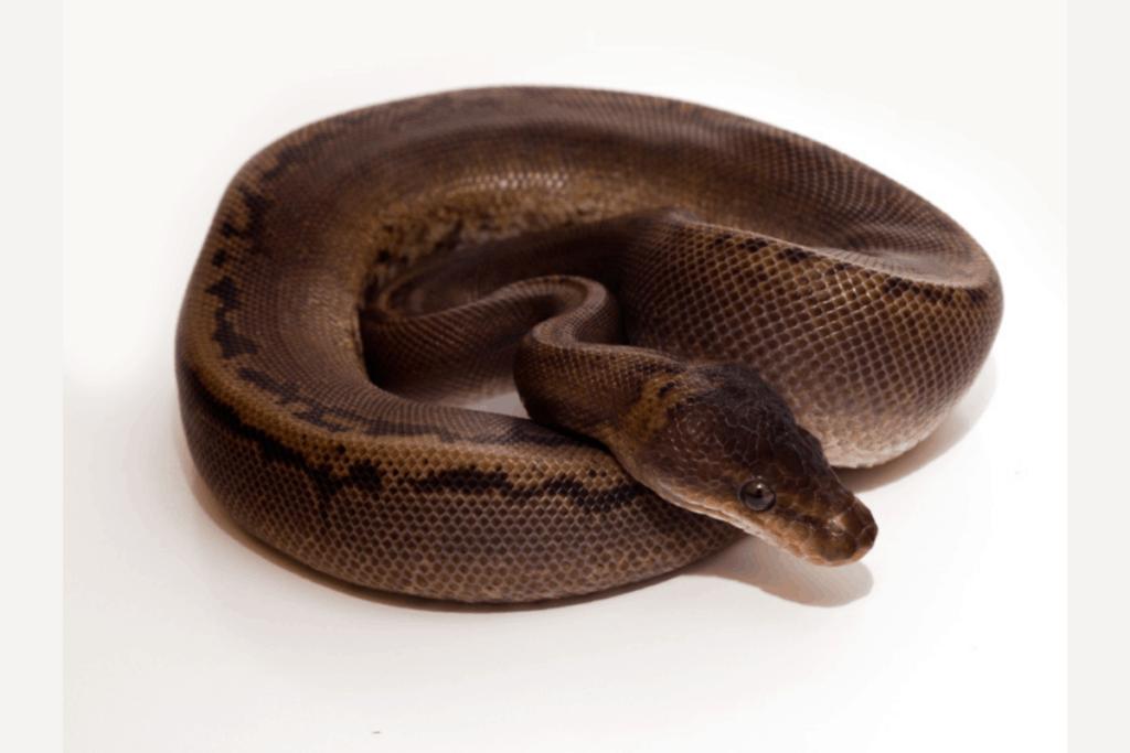 ball python morphs gold dust