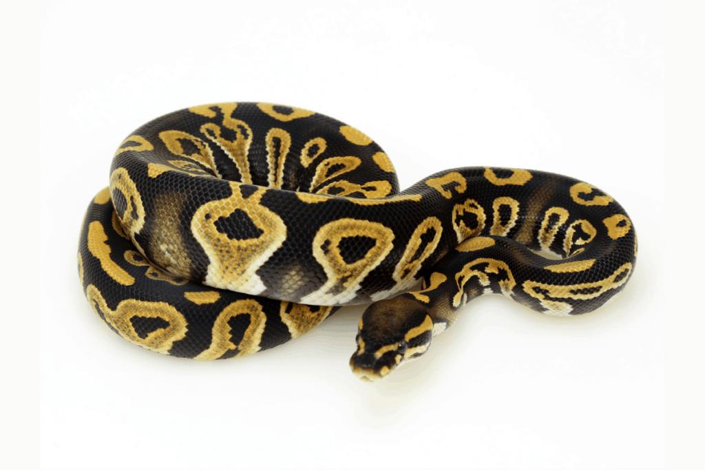ball python morphs java