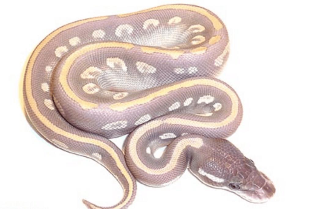ball python morphs love potion