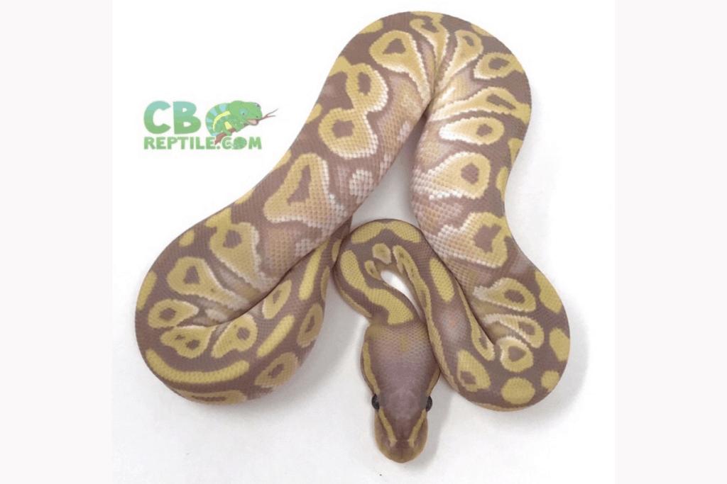 ball python morphs mojave