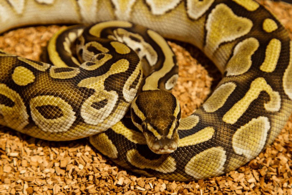 ball python morphs normal