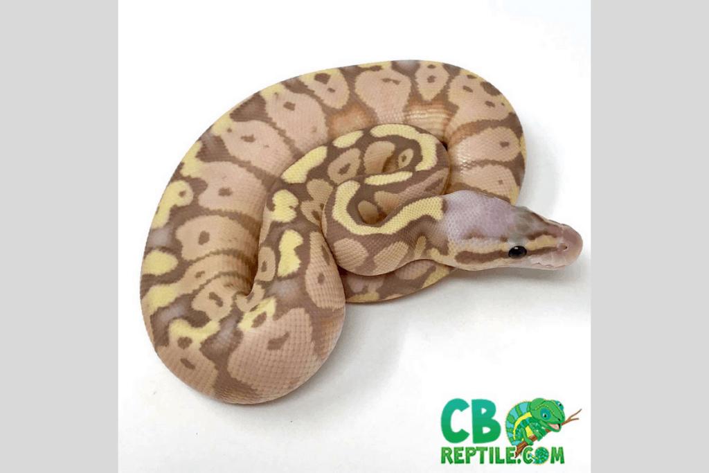 ball python morphs pastel