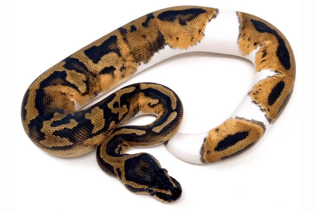 ball python morphs piebald